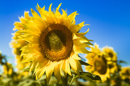 giant sunflower: Giant yellow sunflower bloom in field of sunflowers on sunny blue sky day Stock Photo