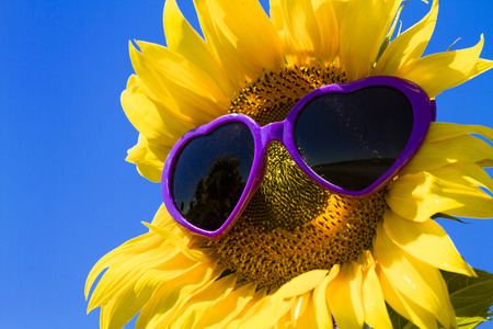 giant sunflower: Giant open yellow sunflower bloom in field of sunflowers with purple heart sunglasses on flower face