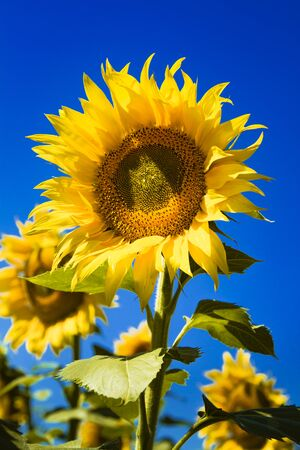 giant sunflower: Giant open yellow sunflower bloom in field of sunflowers on sunny summer day Stock Photo