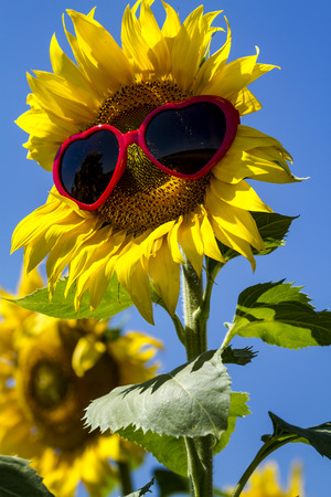 giant sunflower: Giant open yellow sunflower bloom in field of sunflowers with red heart sunglasses on flower face against bright blue sky