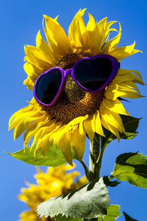 giant sunflower: Large open yellow sunflower bloom in field of sunflowers with purple heart sunglasses on flower face against bright blue sky