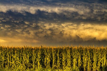 Storm front with mammatus clouds over corn fields in rural setting at sunset Stock Photo