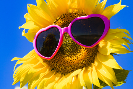 giant sunflower: Giant open yellow sunflower bloom in field of sunflowers with pink heart sunglasses on flower face against bright blue sky Stock Photo