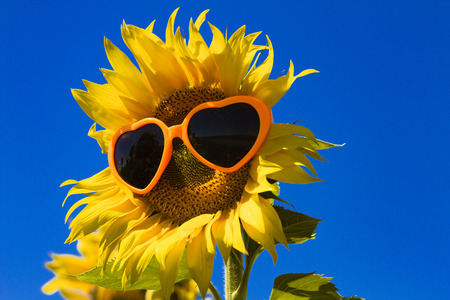 giant sunflower: Giant open yellow sunflower bloom in field of sunflowers with orange heart sunglasses on flower face