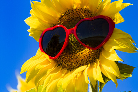 giant sunflower: Giant open yellow sunflower bloom in field of sunflowers with red heart sunglasses on flower face