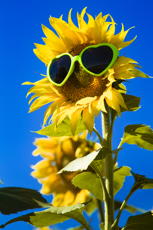 giant sunflower: Giant open yellow sunflower bloom in field of sunflowers with green heart sunglasses on flower face