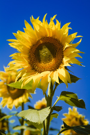 Large open yellow sunflower bloom in sunflower field on sunny summer day Stock Photo