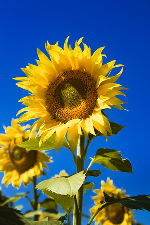 Large yellow sunflower bloom in sunflower field on sunny summer day Stock Photo