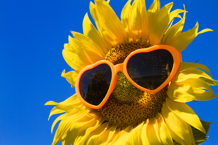 giant sunflower: Large open yellow sunflower bloom in field of sunflowers with orange heart sunglasses on flower face Stock Photo