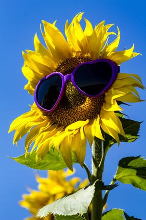 giant sunflower: Giant open yellow sunflower bloom in field of sunflowers with purple heart sunglasses on flower face against bright blue sky