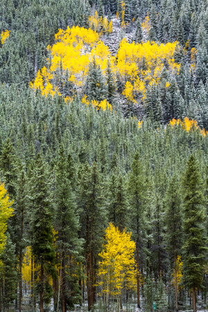 Grove of yellow Aspen trees in full fall color after early autumn snow storm on mountainside of green pine trees