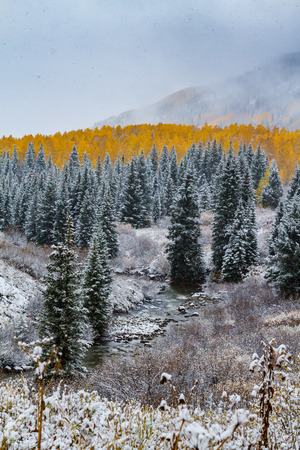 pine creek: Snowy autumn scene along mountain creek with snow covered pine trees and yellow Aspen trees in full fall color on moutainside with snow flurries in air