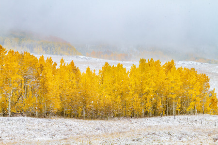 Yellow Aspen trees in full autumn color caught in early season snowstorm with low clouds and snow flurries in air
