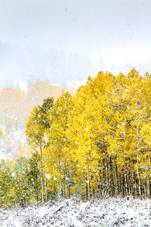 Seasons clash in fall snowstorm with yellow Aspen trees in full autumn color on mountainside