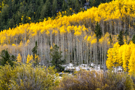 aspen grove: Grove of yellow Aspen trees in full fall color after early autumn snow storm on mountainside Stock Photo