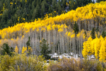 aspen grove: Large grove of yellow Aspen trees in full fall color after early autumn snow storm in morning light Stock Photo