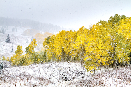 Early season snowstorm with yellow Aspen trees in full autumn color on mountainside Stock Photo