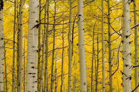 aspen tree: Close up of snow covered Aspen tree trunks in Aspen forest surrounded by yellow changing leaves
