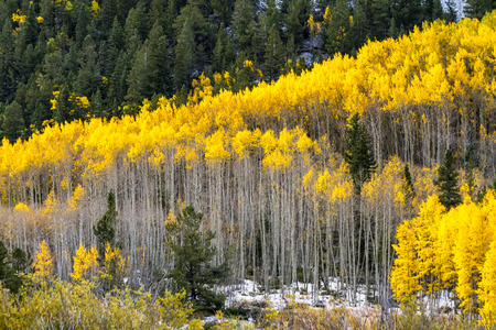 aspen grove: Close up of large grove of yellow Aspen trees in full fall color after early autumn snow storm in morning light