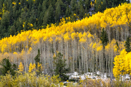 aspen grove: Grove of yellow Aspen trees in full fall color after early autumn snow storm