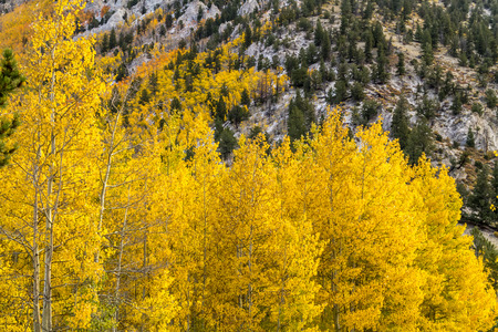 Close up of yellow Aspen tree tops in full autumn color with snow covered mountain in background