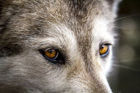 Yellow eyes of timber wolf close up