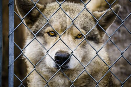 Close up of head and eyes of captive gray wolf behind chain link fence