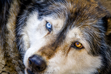 Close up of head of large wolf dog hybrid breed with two different color eyes