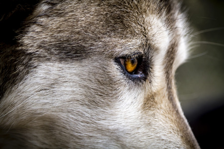 Side view of yellow eye of mysterious timber wolf Stock Photo