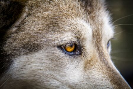 Close up of yellow eyes of timber wolf