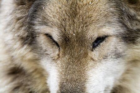 Sleeping gray wolf dog hybrid breed close up