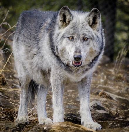Gray wolf standing and staring in forest setting