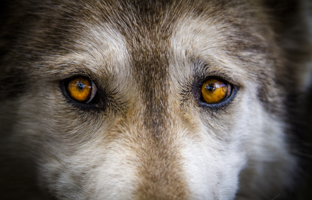 Close up stare of yellow eyes of timber wolf