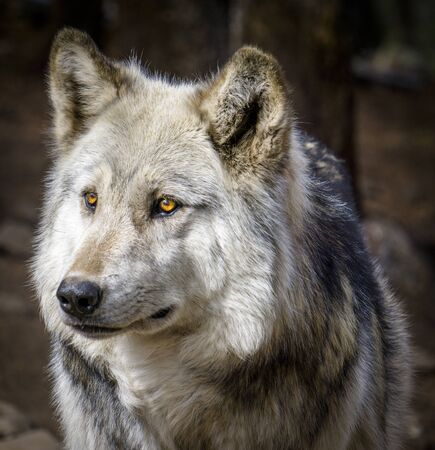 Close up of gray wolf in forest setting