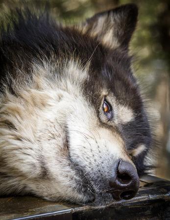 Close up of head of large wolf dog hybrid breed Stock Photo