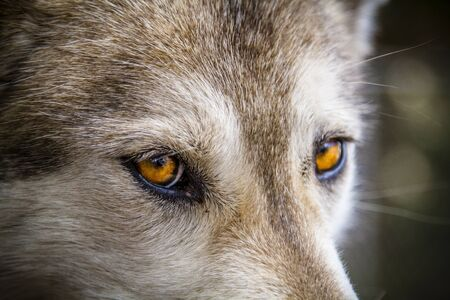 Yellow eyed stare of timber wolf