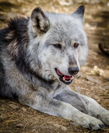 Close up of gray wolf laying down in forest setting Stock Photo