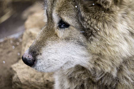 Close up of gray wolf dog hybrid breed with snow flurries in air Stock Photo