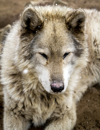 Close up of gray wolf dog hybrid breed with snow flurries in air with eyes closed