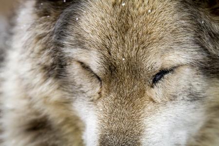Close up of gray wolf dog hybrid breed sleeping