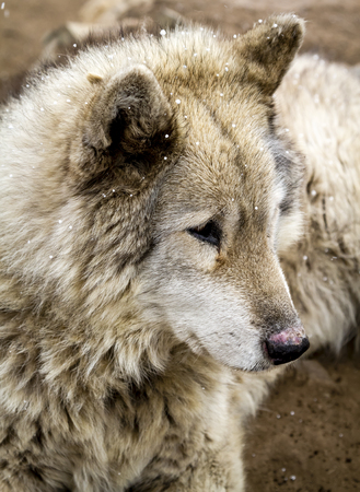Close up of gray wolf dog hybrid breed with snow flurries