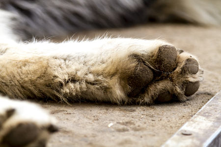 Close up of wolf dog hybrid mix breed paws while laying down