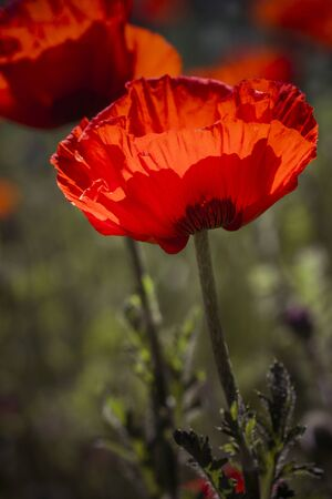 Single stem of Orange Poppy flower with opened bloom in poppy field portrait orientation with desaturated colors Stock Photo