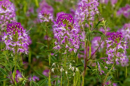 Close up of purple Rocky Mountain Bee Plant stems with honey bee on blossom Stock Photo
