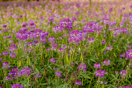 Large meadow of purple Rocky Mountain Bee Plant wildflowers in evening light