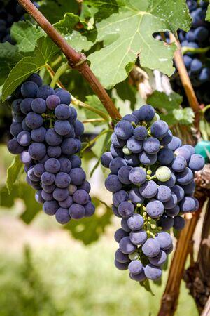 地元のワイン畑で収穫するためにつるにぶら下がっているいくつかの赤ワインぶどう