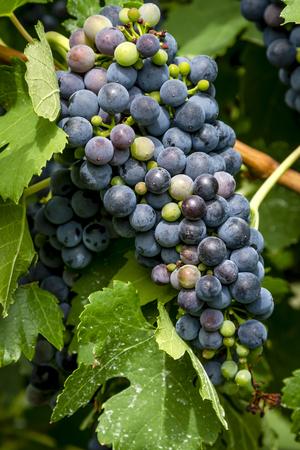 ブドウ園 portrat 方向にツルにぶら下がっているベレゾーン期赤ワイン ブドウの房