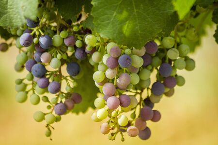 Close up of variety of pastel colors of red wine grapes in veraison stage of growth hanging on vine