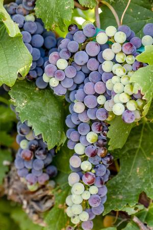 ベレーゾン期地元コロラド州のブドウ園でのぶどうの赤ワイン葡萄 写真素材