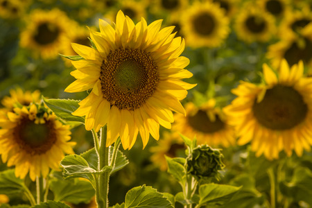 Large yellow sunflowers in field back lit by evening sun